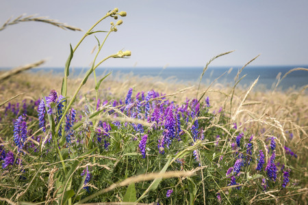 sea flowers: Wildflowers and grasses on Atlantic ocean shore of Prince Edward Island, Canada.