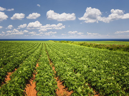 edward: Rows of potato plants growing in large farm field at Prince Edward Island, Canada