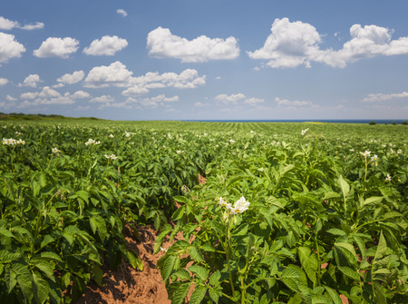 Closeup of flowering potato plants growing in large farm field at Prince Edward Island, Canada photo