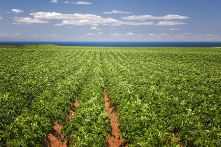 farm field: Rows of potato plants growing in large farm field at Prince Edward Island, Canada