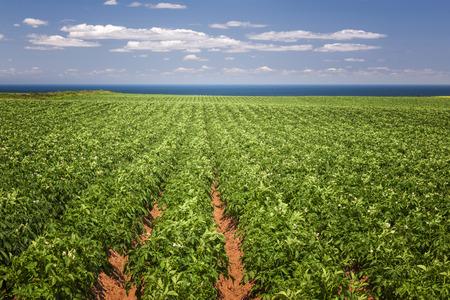 big island: Rows of potato plants growing in large farm field at Prince Edward Island, Canada