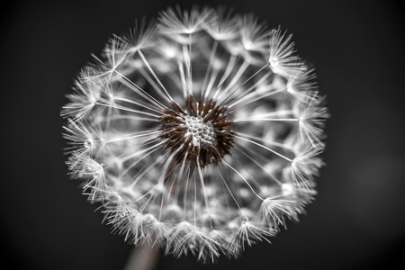 pappus: Macro closeup of dandelion seed head over black background with seeds missing