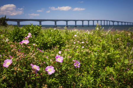 hiway: Closeup of wild rose flowers at New Brunswick, Canada coast with Confederation Bridge in background Stock Photo