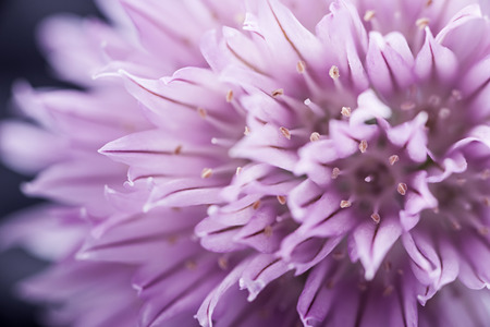 Extreme macro closeup of purple chive flower photo