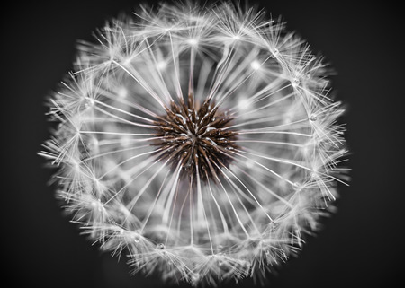 pappus: Macro closeup of dandelion seed head over black background
