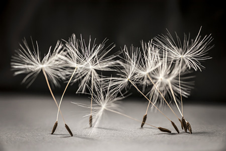 Macro closeup of dandelion seeds standing up on gray and black background Stock Photo