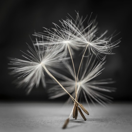 pappus: Macro closeup of dandelion seed bunch standing up on gray and black background, square format Stock Photo