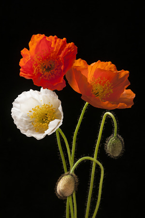 Red, orange and white poppy flowers with buds on black background