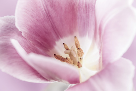 pistil: Macro closeup of pink tulip flower with pistil and stamens