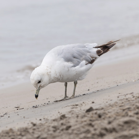 sea gull: Seagull close up standing on sandy foggy beach near water, square format Stock Photo