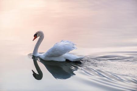 swimming swan: White swan swimming on lake water surface reflecting pink sunset Stock Photo