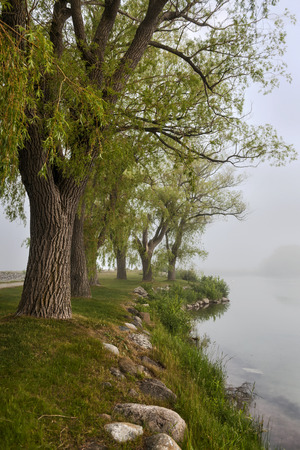 early summer: Row of old trees on foggy lake shore in early summer