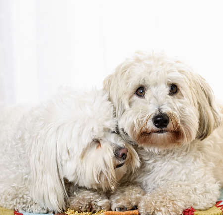 snuggling: Portrait of two coton de tulear dogs snuggling together