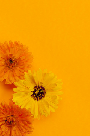 herbology: Several fresh medicinal calendula or marigold flowers arranged on orange background with copy space Stock Photo