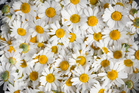 roman: Background of fresh medicinal roman chamomile flowers