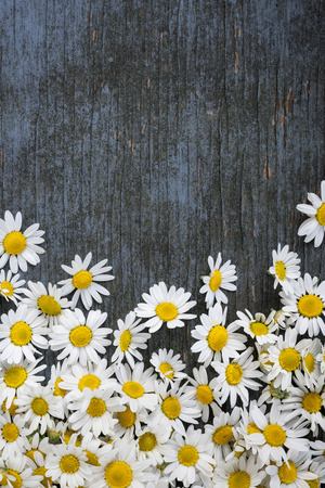 roman: Fresh medicinal roman chamomile flowers scattered on blue rustic wooden background with copy space