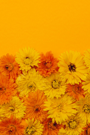 traditional remedy: Fresh medicinal calendula or marigold flowers arranged on orange background with copy space