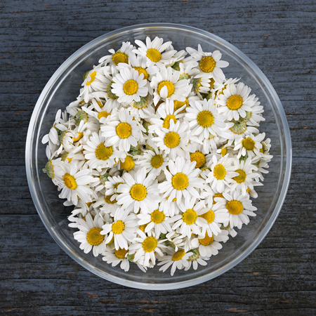 the romans: Fresh medicinal roman chamomile flowers in bowl on rustic wooden background, square format