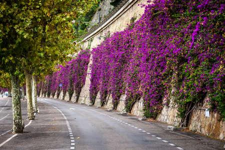 flores moradas: Arbusto floreciente mediterránea rosa escalada buganvillas pared de piedra en carretera de la playa en Villefranche-sur-Mer, Francia
