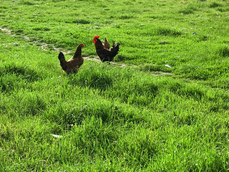 A chicken and a cock in a green field. photo