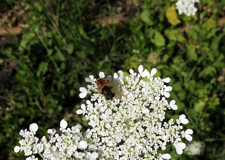 Close-up of a bee and other small bugs on a white flower. Stock Photo - 3371058