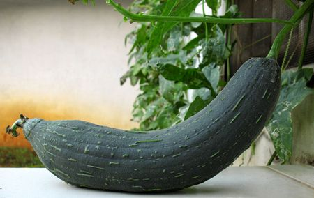 A green loofah gourd and plant in a home garden. photo