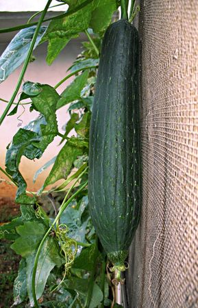 Un verde loofah calabaza y vegetales en un huerto familiar.
