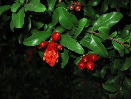 Close-up of brightly colored pomegranate flowers in the tree. Stock Photo - 9452080