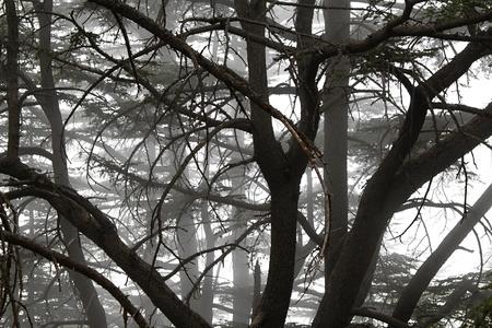 Naturaleza niebla en un bosque de cedros en el Líbano.