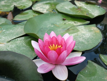 A pink water lily floating in a pond. photo