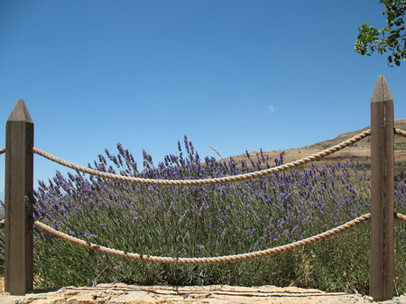 A fenced lush lavender bush on a sunny summer day  photo