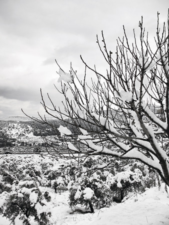 A bare tree with branches covered with snow  photo