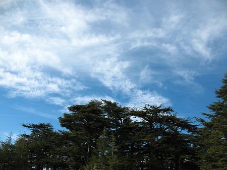 libani: Cedar tree forest in Lebanon against a blue sky  Stock Photo