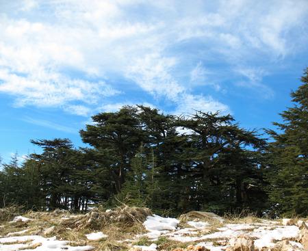 libani: Cedar trees forest in Lebanon against a blue sky