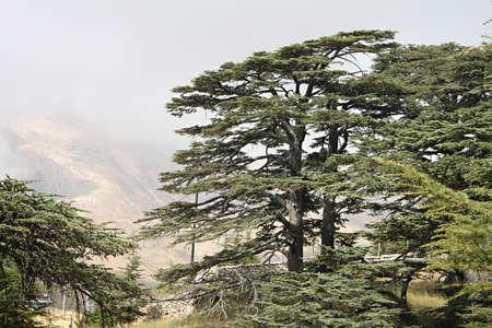El bosque de cedros en el Líbano en la niebla Foto de archivo