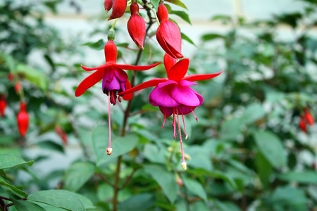 A cluster of Fuschia flowers   buds dangling  Stock Photo