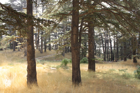 libani: View of the cedar forest in Lebanon.