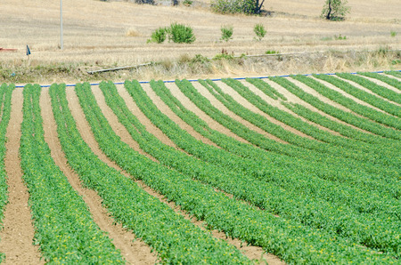 Tomato field on bright summer day photo