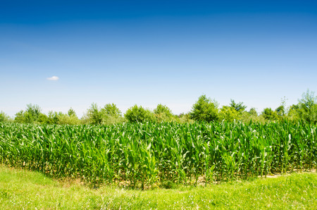 Corn field on bright summer day photo