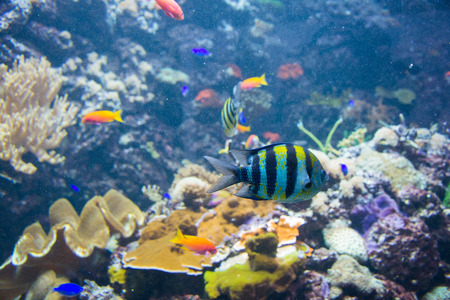 freshwater clown fish: Tropical fish under the water