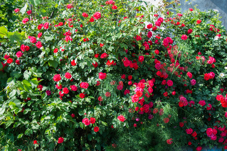 Bush of roses on bright summer day photo