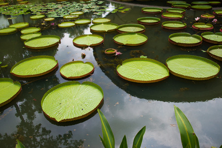 Large leaves of water lily photo