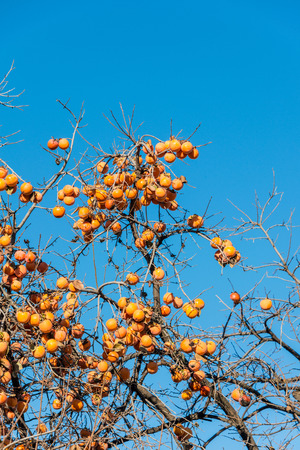 persimmon tree: Persimmon fruits on the tree