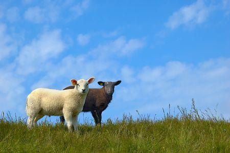 Black and white sheep photo