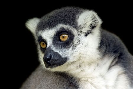 Portrait of a ring tailed lemur looking sideways photo