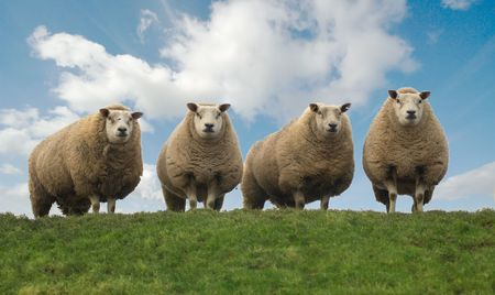 Four sheep on top of the hill photo