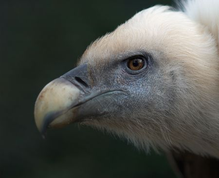 thieving: Closeup of a vulture