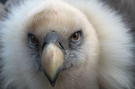 karkas: Closup van een gier
