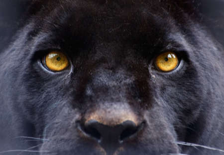 Eyes of a panther staring direct at the camera photo