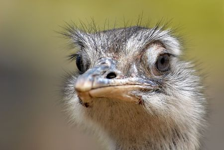 A curious ostrich photo